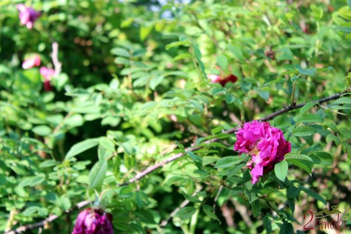 3 Róża krzak