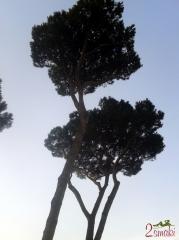 Włochy kulinaria - drzewa piniowe 2