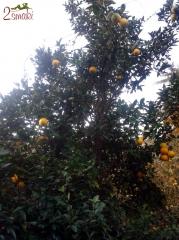 Włochy kulinaria - drzewo pomarańczowe